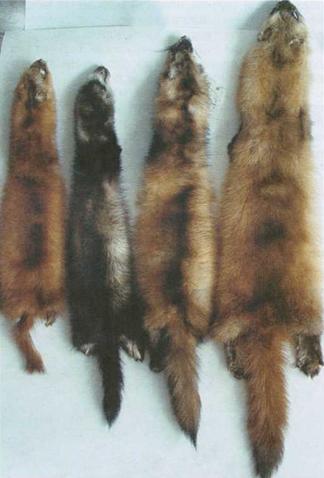 Животные семейства куньих  biofileru